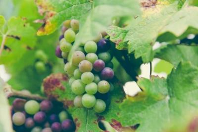 vino biologico, vino biodinamico e vino naturale